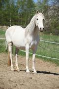 Stock Photo of Andalusian mare with long hair in spring
