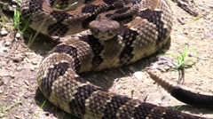 Closeup rattle snake facing camera rattling tale Red River gorge Kentucky Stock Footage