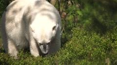 Polar bear in summer Stock Footage