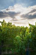 Grape vine and sunbeams behind clouds Stock Photos