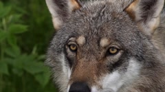 Closeup of a european wolf Stock Footage