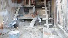 Group of domestic hens in the chicken coop on the traditional rural farm Stock Footage