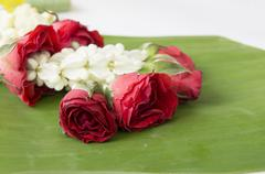 Rose closeup flower floral beauty nature concept Stock Photos