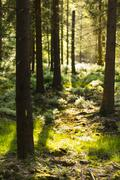 Warm evening sunlight shining through the trees in the forest of the Ardennes Stock Photos