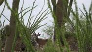Stock Video Footage of 4K Young Buck Deer Framed By Saguaro Cactus Arizona Desert Landscape