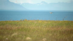 Arctic tern kria birds flying over grass field Iceland summer Stock Footage