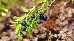 Forest blueberries bush Stock Footage