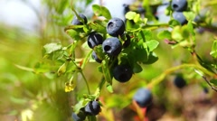 Natural blueberries on bush Stock Footage