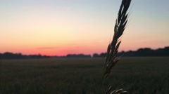Ear of wheat at sunset. Stock Footage
