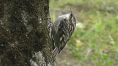 Eurasian Treecreeper fledgling clinging to the side of the tree and is tweeting Stock Footage