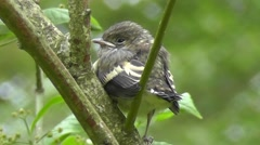 European Pied Flycatcher fledgling resting on a branch - stock footage