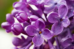 Beautiful spring delicacy lilac flowers. Stock Photos