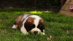 Cute Saint Bernard Puppy Laying in the Grass Handheld Stock Footage