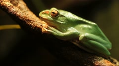 Green Tree Frog Resting on a Branch Stock Footage