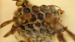 Wasp Nest Tending to their Pupa Stock Footage
