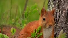 Cute squirell in summer Stock Footage
