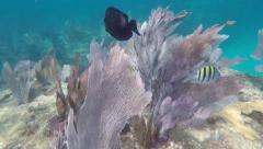 Coral Reef, A Purple Tang scoots away through Sea Fans. - stock footage