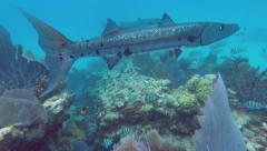 Coral Reef Barracuda Stock Footage