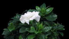 Time-lapse of opening gardenia flower in RGB + ALPHA matte format Stock Footage