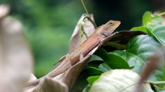 Red Lizard - stock footage