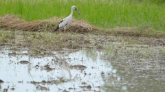White stork walking and searching for food Stock Footage