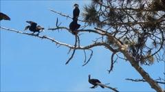 Cormorants  Roosting Stock Footage