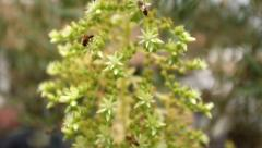 Bees Pollinate Flowering Succulent Stock Footage