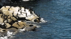 Cormorants and Sea Lion on rock sea side. Stock Footage