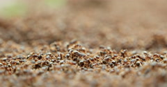 Thousands of ants shallow depth of field Stock Footage