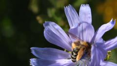 Bee collects nectar on blue chicory - stock footage