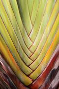 Palm tree branches abstract texture (Travellers Palm) - stock photo