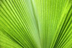 Palm tree branches abstract texture (Travellers Palm) Stock Photos
