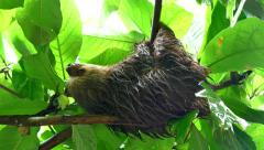 Baby Sloth Sleeping On Tree Branch Wild Animal Costa Rica Stock Footage