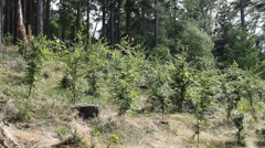 Young trees in the mild wind without sound Stock Footage