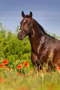 Bay stallion horse in red poppy flowers Stock Photos