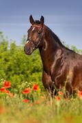 Bay stallion horse in red poppy flowers - stock photo