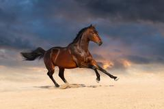 Bay stallion horse playing in sandy field against sunset sky Stock Photos