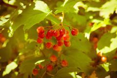 Red Viburnum berries in the tree Stock Photos