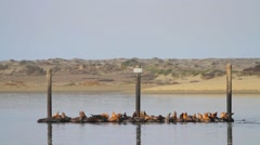 California Seals (Sea Lions) in Morro Bay, California Stock Footage