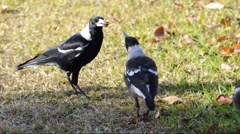Magpie feeding Stock Footage