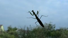 Insect mantis crawling. Stock Footage