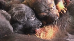 Stock Video Footage of Cute puppies breastfeed, dogs suckling its mother milk