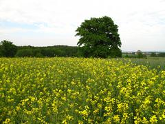 Secluded green oak tree in rape field - stock photo