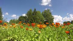 Blossoming medical herbs flowers marigold calendula in farm garden. timelapse 4K Stock Footage