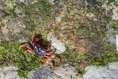 Crab crustacean in rain-forest. - stock photo