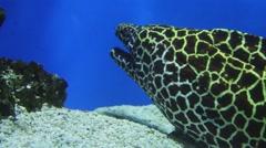 Muraena in the fish tank Stock Footage