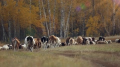 Herd of sheep and cows grazing in a meadow near the forest in autumn in Siberia Stock Footage