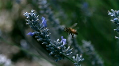 Super Slow Motion Bee on Flower Stock Footage