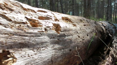 Ragged bark on the tree Stock Footage
