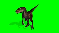 Velocirapor Dinosaurs in motion - green screen Stock Footage